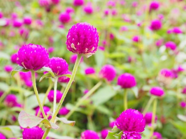 センニチソウ(千日草)花言葉は?由来と意味、センニシコウ(千日紅)との違いとは?