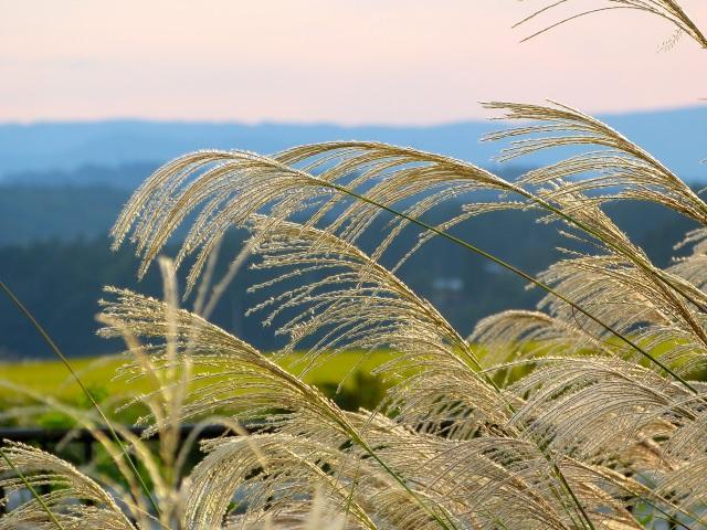 ススキに似た植物とは何?イネ科の草やすすきの外来種との違いを解説